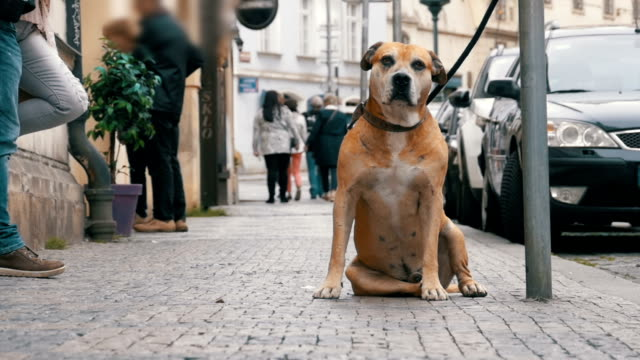 Faithful Miserable Dog Lying on the Sidewalk and Waiting Owner. The Legs of Crowd Indifferent People Pass by video