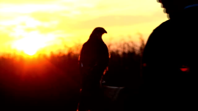 Falcon and trainer Falcon and trainer falcon bird stock videos & royalty-free footage