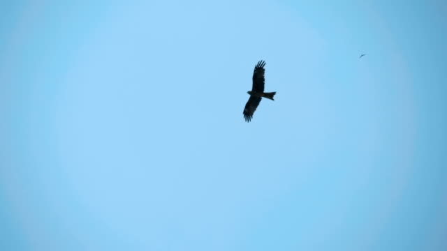 a falcon circling in the blue sky, and as a bird predator looking out for prey - aquila video stock e b–roll