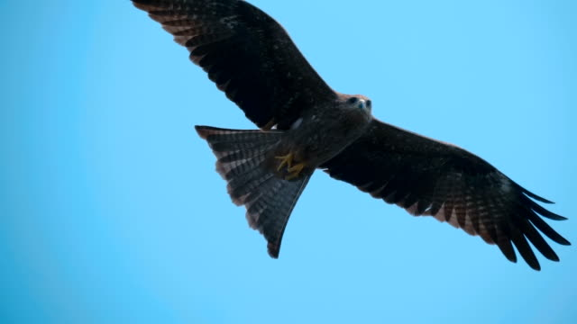 A falcon circling in the blue sky, and as a bird predator looking out for prey