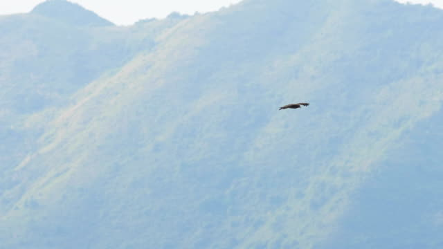 Falcon flying on mountain Bird, Flying, Eagle - Bird, Animal, Bird of Prey falcon bird stock videos & royalty-free footage