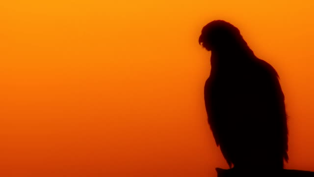 falcon Arabian falcon at desert falcon bird stock videos & royalty-free footage