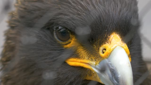 Falkland Caracara, a falcon close up of head. video