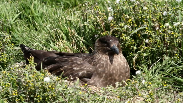 Falkland Islands: Brown Skua nesting Falkland Islands: Brown Skua nesting scavenging stock videos & royalty-free footage