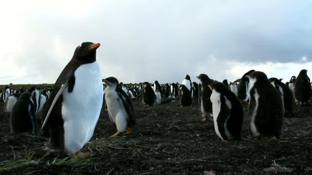 Falkland Islands: Gentoo Penguin chicks colony video