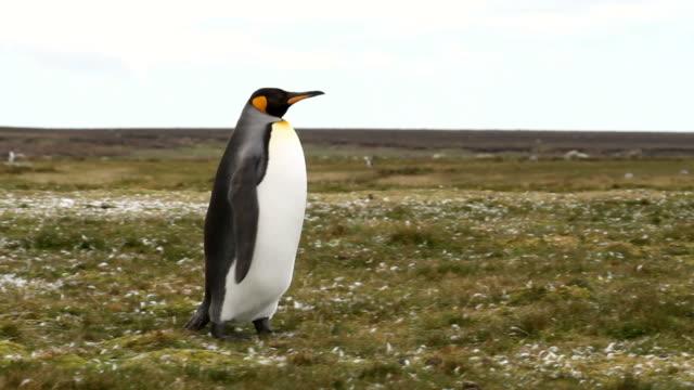 falklandy: pingwin królewski - pingwin filmów i materiałów b-roll