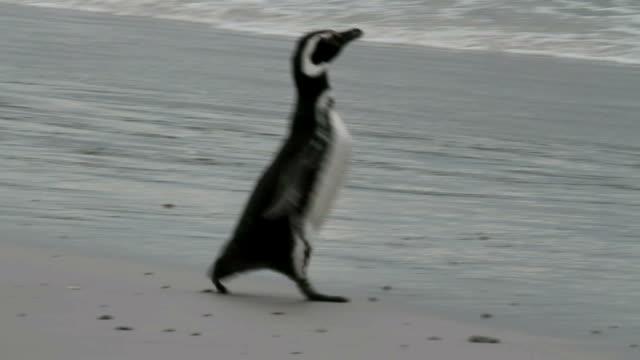 falklandy: pingwin magellanowy biegnie przez plażę - pingwin filmów i materiałów b-roll