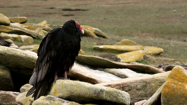 Falkland Islands: Turkey Vulture Falkland Islands: Turkey Vulture new world vulture stock videos & royalty-free footage