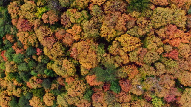 AERIAL Fall colors of a forest in Autumn Season, Quebec, Canada