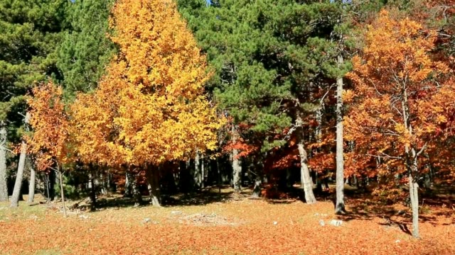 Fall colors on the trees of a grove.