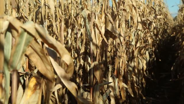 Herbst Cornfield Stängel Schwenk nach oben, Quasten und Sky – Video