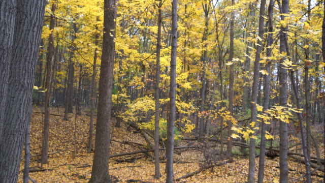 Fall forest filled with yellow leaves falling off trees video