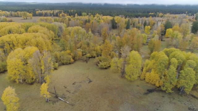 vídeos de stock, filmes e b-roll de queda no noroeste do pacífico: floresta de aspen - aspen colorado