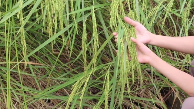 nedgången av örat ris - skalhylsa bildbanksvideor och videomaterial från bakom kulisserna