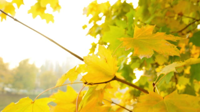 A fall scene with colorful leaves, the shot moves from the top to the bottom and a person walking in the nature video