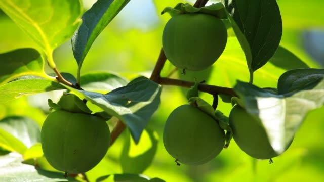 Fall season: ripe kaki on branch video