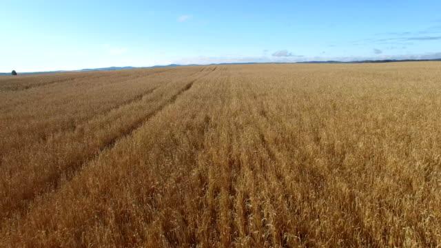 vidéos et rushes de champ de blé d'automne avant une récolte - foin