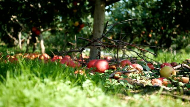 Fallen apples below an apple tree in an orchard on a farm