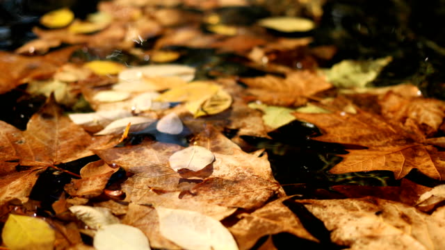 fallen autumn leaves on the surface of water