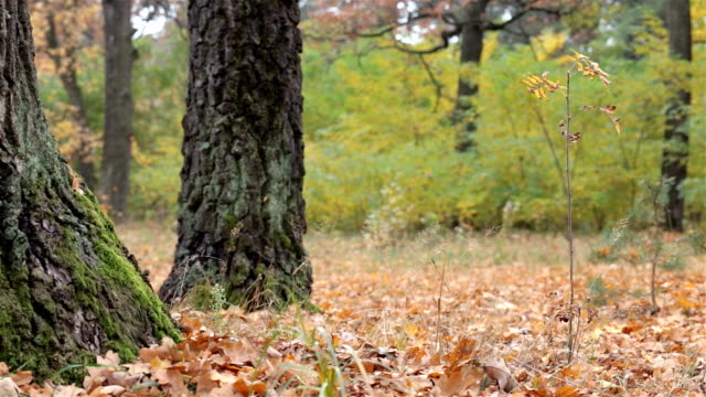 Fallen oak leaves on the ground.