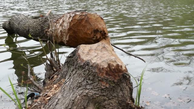 Fallen tree, felled by beavers video