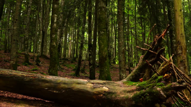 fallen tree in the woods. steady shot - albero caduto video stock e b–roll