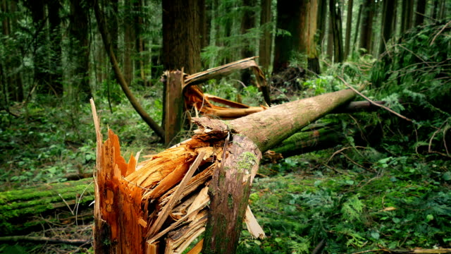 Fallen Trees After Stormy Weather Moving around trees broken by the wind bent stock videos & royalty-free footage