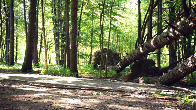 fallen trees in forest on road - albero caduto video stock e b–roll