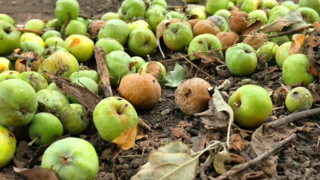 fallenden äpfel vom baum. faulenden äpfeln unter apfelbaum an sonnigen herbstlichen morgen in ländlichen hof. - verfault stock-videos und b-roll-filmmaterial