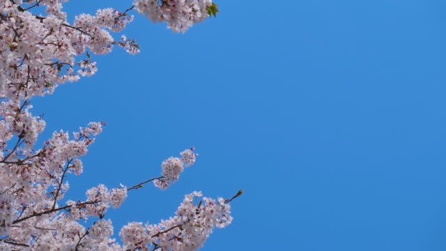 Falling cherry blossoms Cherry blossoms are fluttering in the soft breeze. hovering stock videos & royalty-free footage