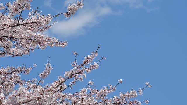 caduta di fiori di ciliegio - ramo parte della pianta video stock e b–roll