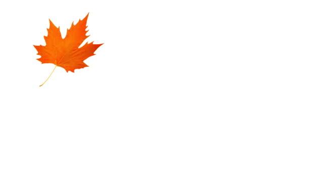 vídeos y material grabado en eventos de stock de caída de la hoja de arce naranja - moda de otoño