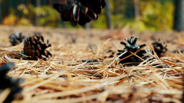 Falling pine cone on fir branches in the forest video