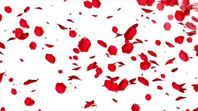 fallande rosenblad på vit bakgrund - white roses bildbanksvideor och videomaterial från bakom kulisserna