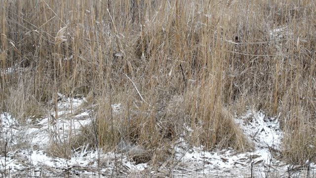 Falling snow on a background of dry grass on the field.