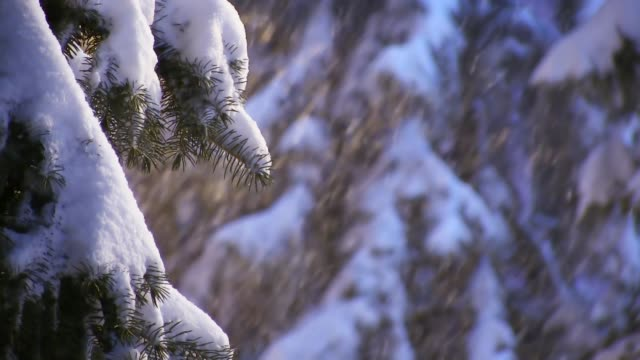 Falling snow on snowy spruce trees at winter in blizzard
