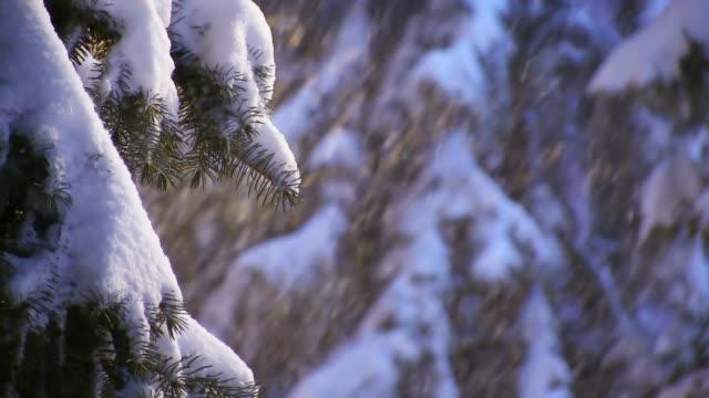 吹雪の冬に雪のスプルースの木に降る雪 - 霜点の映像素材/bロール
