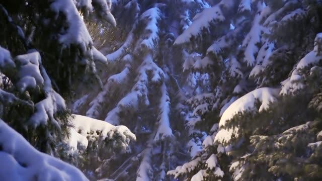 吹雪の間に冬にスプルースの木の枝に降る雪 - 霜点の映像素材/bロール