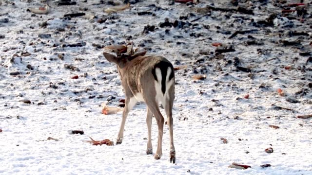 Bидео Fallow Deer Young Buck feeding in the snow, Deer Buck Corn feeding platform