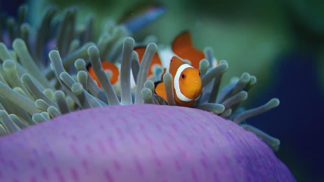 vídeos de stock e filmes b-roll de false anemonefish or  clownfish, amphiprion ocellaris, is hiding in a anemone - peixe