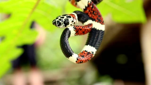 false coral snake (Rhinobothrium bovalli) video