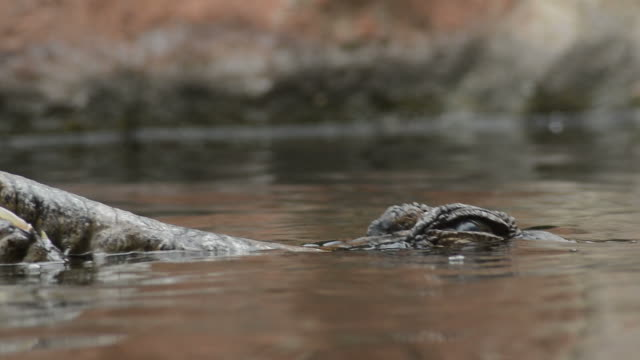 falska gharial eller tomistoma dränka i en flod - tomistoma schlegelii - utdöd bildbanksvideor och videomaterial från bakom kulisserna