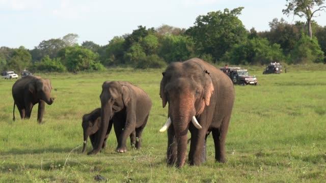 Familiy of elephants in a Safari at Yala National Park, Sri Lanka. Shot at Yala National Park, in SRI LANKA, where the animals are totally free. sri lanka stock videos & royalty-free footage