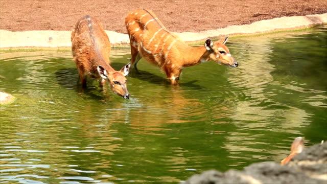 Family group of wild deer video
