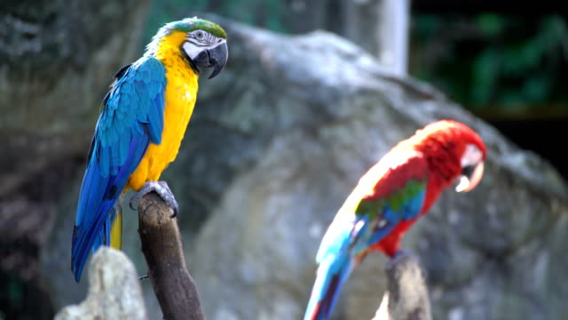 Family Macaws video