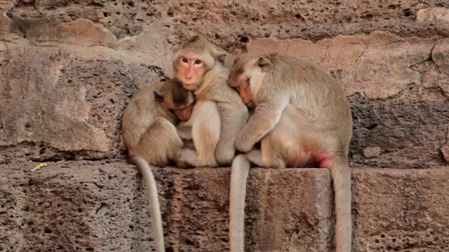 Familie Affen in Thai-Tempel, Lopburi, Thailand – Video