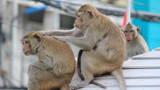 семья обезьян - уход за поверхностью тела у животных стоковые видео и кадры b-roll