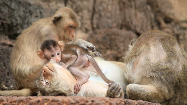 Family Monkeys video