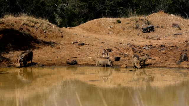 Family of African pig Warthog in South Africa safari wildlife
