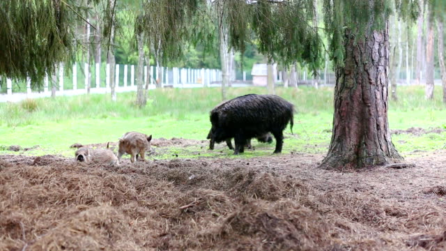 family of boars video